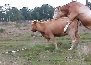 Wild cows are trying to fuck by the forest