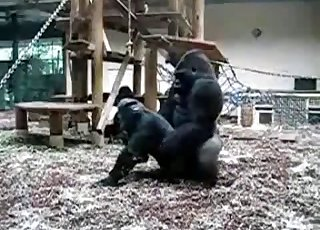 Brutal black gorillas fuck in the zoo