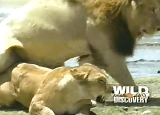 Lioness fucked nicely by horny as hell lion