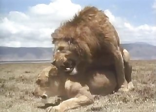 Lioness gets totally ravaged by a dominant lion