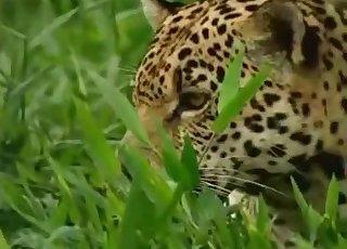 Lustful leopard looks real hot