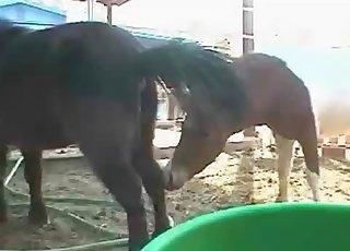 Sexy black mule is peeing in barn