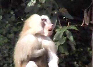 Small monkey jerks a dick on camera