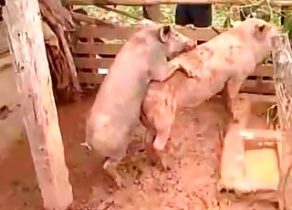 Two pigs fucking passionately in the mud