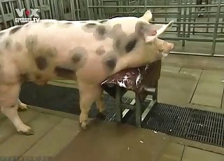 Sexy pig flaunting its hot body on cam